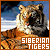 Big Cats: Tigers: Siberian