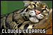 Big Cats: Clouded Leopards