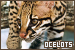 Big Cats: Ocelots