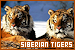 Big Cats: Siberian Tigers