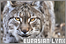 Big Cats: Eurasian Lynx