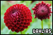 Flowers: Dahlias