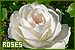 Flowers: Roses